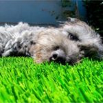 Krinkles loves his artificial turf by SGW